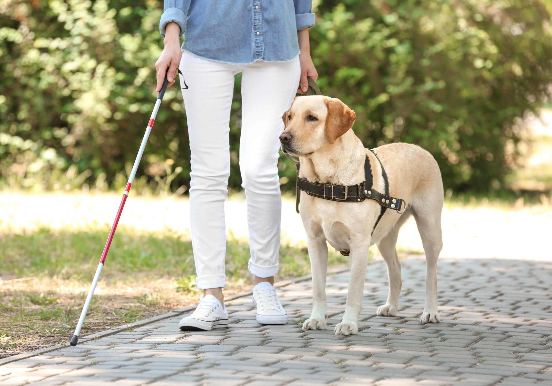 Using a red and white cane with an assistance dog